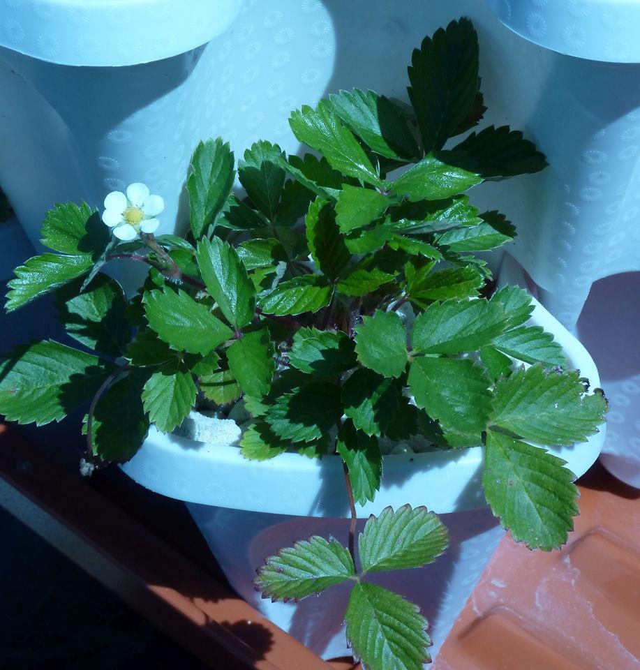 Alpine Strawberries Growing In Growstones