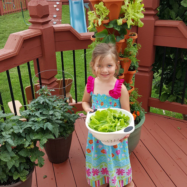 Havesting more lettuce. fresh salad greens. Yum!
