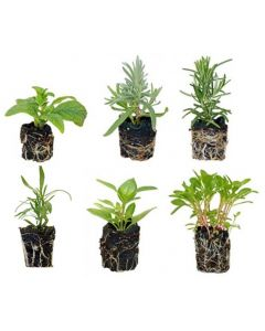 6 Plant Culinary Herb Garden Kit