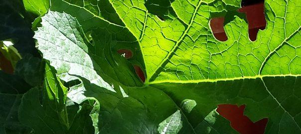 Garden Pests: Squash Bugs